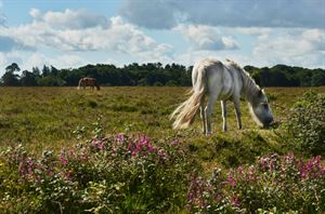 New Forest (Courtesy stock.adobe.com)