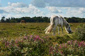 New Forest (Courtesy stock.adobe.com)