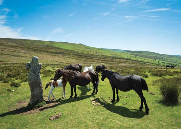 Bennett's Cross surrounded by Dartmoor ponies with Birch Tor in the distance