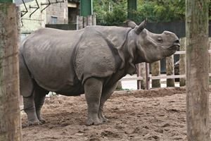 Greater one-horned  rhino at Chester Zoo