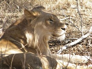 A young male lion enjoying the after shade in Kruger National Park