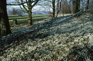 Snowdrops in bloom at House of the Binns, West Lothian. Image copyright National Trust for Scotland