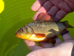 One of the crucian carp released into the Upper Pond at Kelling Heath Holiday Park