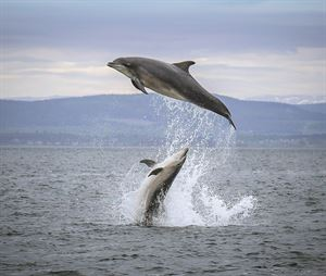 Dolphins leaping on an EcoVentures cruise