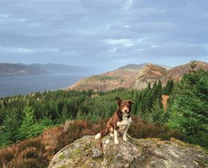 Collie Braan enjoys the view at Farigaig Forest viewpoint