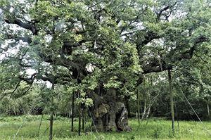 Sherwood Forest's Major Oak (Image: Pixabay)