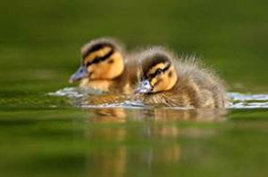Come and see ducklings this summer half term