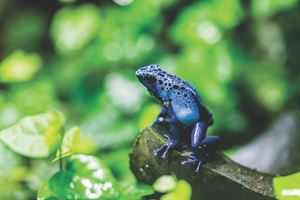 A blue poison dart frog at Chester Zoo