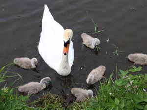 Time your visit for spring to see the cygnets