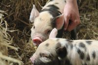 Piggies at Cotswold Farm Park